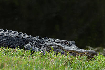 Photograph - Lazing In The Grass by David Watkins
