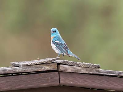 Photograph - Lazuli Bunting by Loree Johnson
