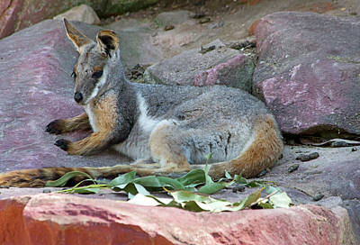 Photograph - Lazy Afternoon For Rock Wallaby by Miroslava Jurcik