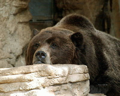 Photograph - Lazy Bear by Christine S Zipps