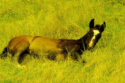 Blood Bay Horse Photograph - Lazy Colt by Jeff Swan