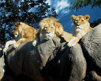 Photograph - Lazy Day Lions by George Jones