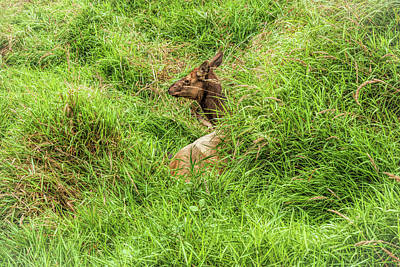 Photograph - Lazy Elk by John M Bailey