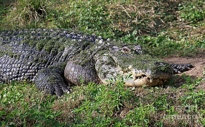 Photograph - Lazy Florida Gator by Mary Haber