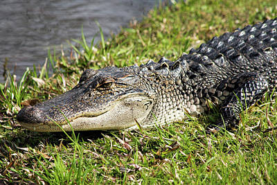 Photograph - Lazy Gator by Ed Waldrop