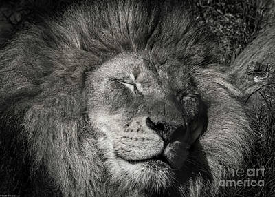 Photograph - Lazy Lion by Mitch Shindelbower