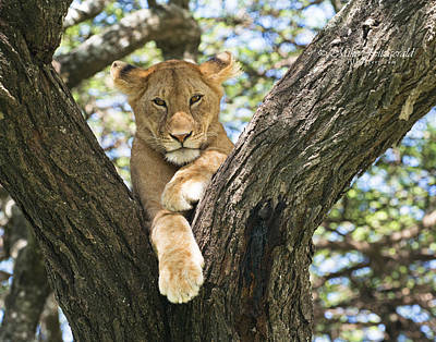 Photograph - Lazy Lioness by Mike Fitzgerald
