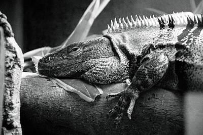 Lazy Lizard Art Print