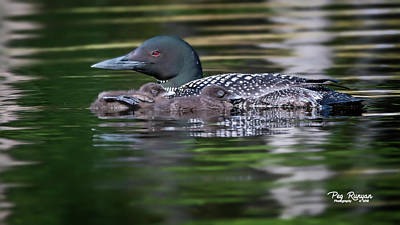 Photograph - Lazy Loons by Peg Runyan