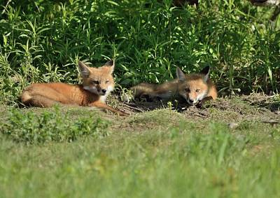 Photograph - Lazy Sunday At The Den-fox Kits by David Porteus