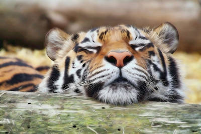 Photograph - Lazy Tiger by Athena Mckinzie