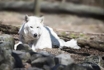 Photograph - Lazy Wolf by Anthony Sacco