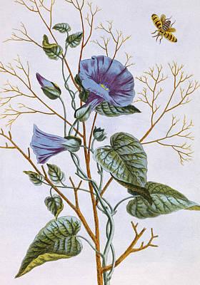 Hornets Painting - Le Grand Liseron Violet   Convovlus by Pierre-Joseph Buchoz