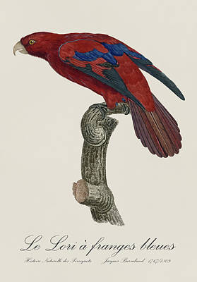 Bird Painting - Le Lori A Franges Bleues - Restored 19th Century Lory Illustration By Jacques Barraband by Jose Elias - Sofia Pereira