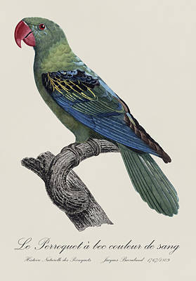 Parrot Painting - Le Perroquet A Bec Couleur De Sang / Great-billed Parrot - Restored 19thc. Illustration By Barraband by Jose Elias - Sofia Pereira