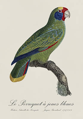 Love Painting - Le Perroquet A Joues Bleues / Red-tailed Amazon - Restored 19th C. Parrot Illustration By Barraband by Jose Elias - Sofia Pereira