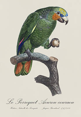 Amazon Parrot Painting - Le Perroquet Aourou-couraou / Orange-winged Amazon - Restored 19th Illustration By Barraband by Jose Elias - Sofia Pereira