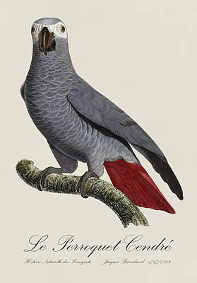 Fauna Painting - Le Perroquet Cendre / African Grey Parrot - Restored 19th Century Illustration By Jacques Barraband by Jose Elias - Sofia Pereira
