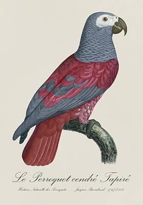 Parrot Painting - Le Perroquet Cendre Tapire - Restored 19th Century Parrot Illustration By Jacques Barraband  by Jose Elias - Sofia Pereira