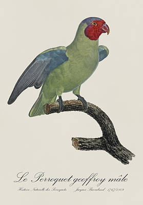 Love Painting - Le Perroquet Geoffroy Male / Red Cheeked Parrot - Restored 19th C. By Barraband by Jose Elias - Sofia Pereira