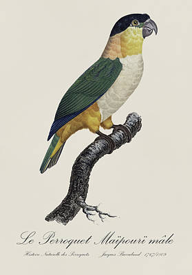 Love Birds Painting - Le Perroquet Maipouri Male / Black-headed Parrot - Restored 19th C. Parrot Illustration By Barraband by Jose Elias - Sofia Pereira