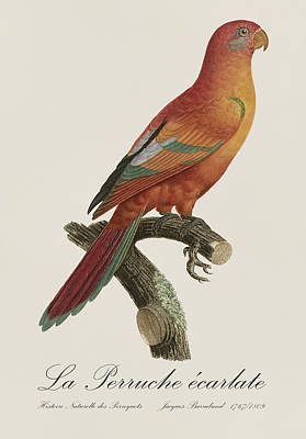 Birds Painting - Le Perruche Ecarlate - Restored 19th Century Parakeet Illustration By Jacques Barraband by Jose Elias - Sofia Pereira