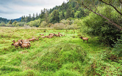 Photograph - Leader Of The Elk Herd by John M Bailey
