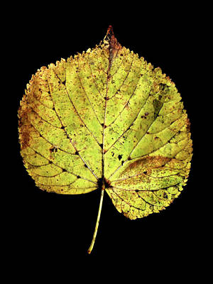Photograph - Leaf 10 by David J Bookbinder