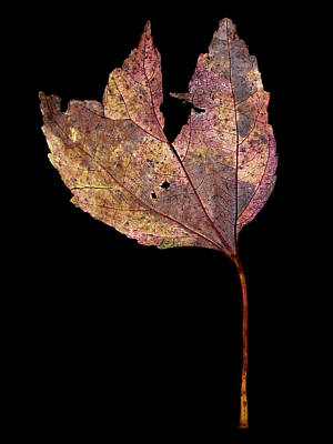 Photograph - Leaf 11 by David J Bookbinder