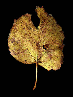 Photograph - Leaf 13 by David J Bookbinder