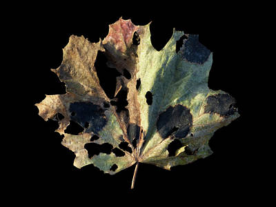 Photograph - Leaf 16 by David J Bookbinder