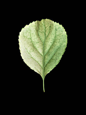 Photograph - Leaf 19 by David J Bookbinder