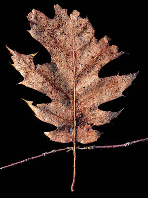 Photograph - Leaf 22 by David J Bookbinder