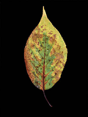 Photograph - Leaf 5 by David J Bookbinder