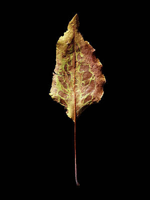 Photograph - Leaf 6 by David J Bookbinder