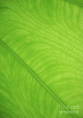 Abstracts Photograph - Leaf Art - Natural Abstract  by Prar Kulasekara