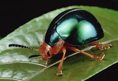 Iridescent Photograph - Leaf Beetle From South Africa by Mark Moffett