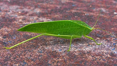Photograph - Leaf Bug  by Pamela Walton