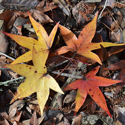 Photograph - Leaf Color Wheel - Sweetgum by rd Erickson