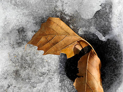 Photograph - Leaf Duo On Ice by Lynda Lehmann