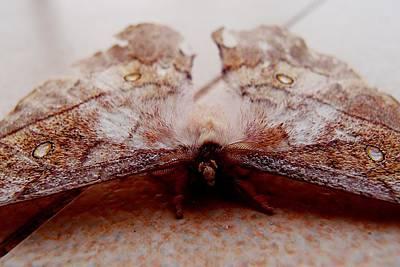Photograph - Leaf Emperor Moth by Dora Hathazi Mendes