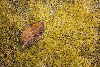 Photograph - Leaf Fallen On Algae Bubbles by Steven Schwartzman