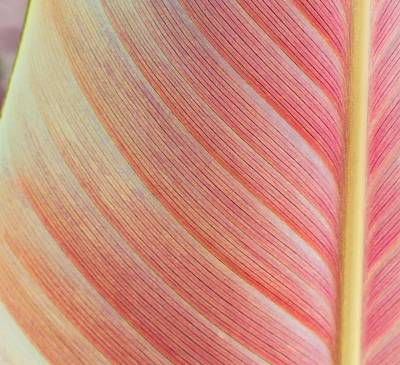 Leaf In Pink  Art Print