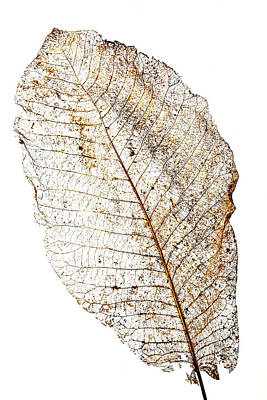 Tears Photograph - Leaf Skeleton by Garry Gay