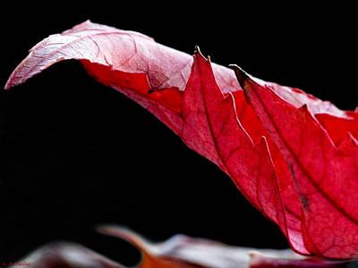 Photograph - Leaf Study IIi by Lauren Radke