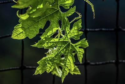 Photograph - Leaf Textures - Bitter Gourd by Ramabhadran Thirupattur