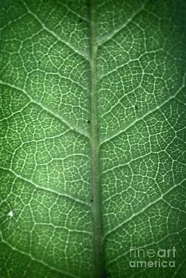Photograph - Leaf Vein by Paul Cammarata