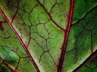 Photograph - Leaf Veins by Colin Drysdale