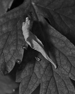 Photograph - Leaf With Dew by Charles Lucas