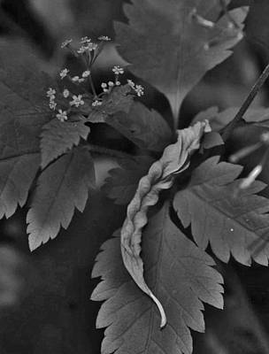 Photograph - Leaf With Small Flowers by Charles Lucas